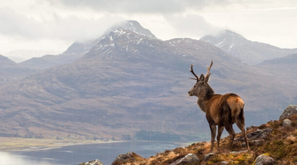Stag overlooking a loch