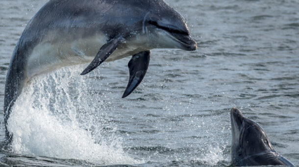 Dolphin jumping out of the sea
