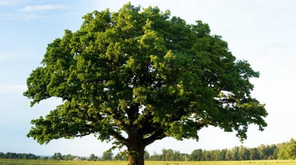 oak tree in feild